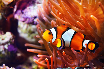 Amphiprion ocellaris clownfish in the anemon. Natural marine enriromnent