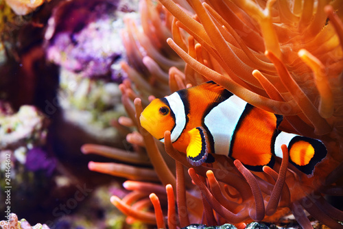 Amphiprion ocellaris clownfish in the anemon Fototapet