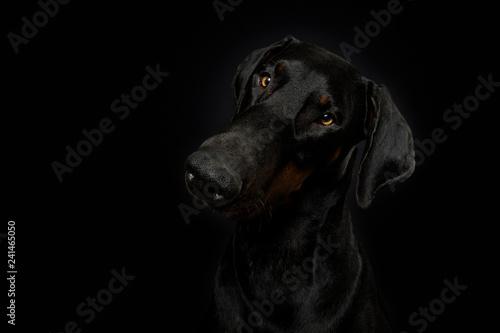 Adult doberman on black background Tableau sur Toile
