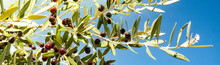 Olive Branch Against The Blue Sky On A Sunny Day.