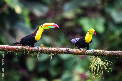 In de dag Toekan Keel-billed Toucan - Ramphastos sulfuratus, large colorful toucan from Costa Rica forest with very colored beak.