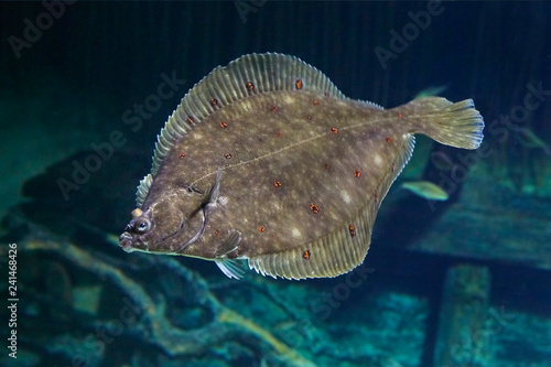 Fotomural Beautiful flounder on the seabed.