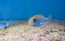 Silver Juvenile Sea Bass, Portrait Of A Young Small Fish