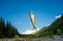 Cutthroat Trout Hanging From Hook