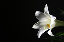 White Easter Lily On Black Bac...