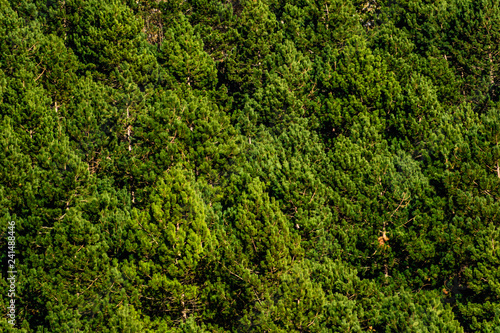 Fotografia  lively forest of pine trees full frame