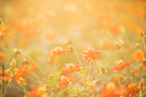Fototapety, obrazy: Wild meadow pink flowers in early sunny fresh morning background. Meadow in sunset warm light and lens flare. Autumn field background.