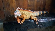 The Iguana Is A Genus Of Herbivorous Lizards That Are Native To Tropical Areas.