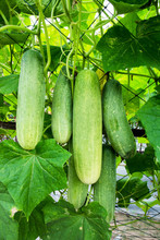Closeup Cucumber Growing At Farm Background