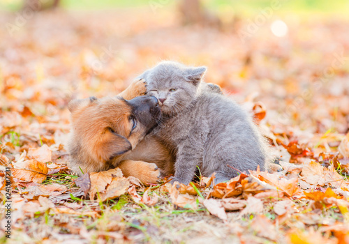 Photo  Playful mixed breed puppy and  kitten together on autumn leaves at sunset