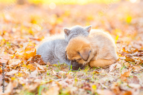 Fototapeta Cute kitten and puppy sleeping together on autumn leaves at sunset obraz na płótnie