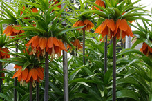 Orange Blooming Crown Imperial...