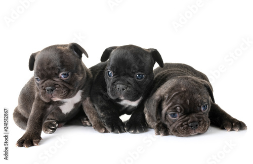 Staande foto Franse bulldog puppies french bulldog