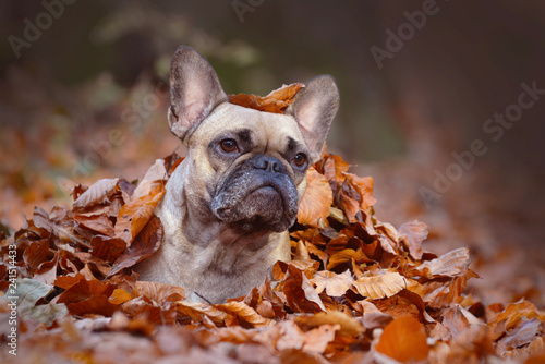 Curious fawn French Bulldog dog girl lying on forest ground covered in colorful autumn leaves