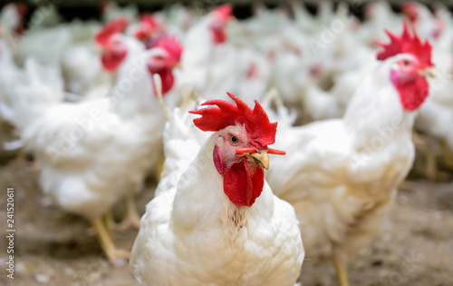 Papiers peints Poules White chickens farm
