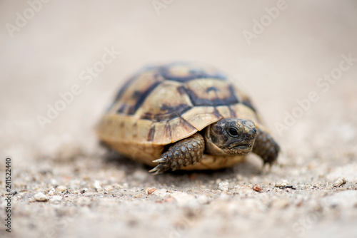 Poster Tortue Close up of a young Greek turtle in its natural environment - macro, selective focus, space for text