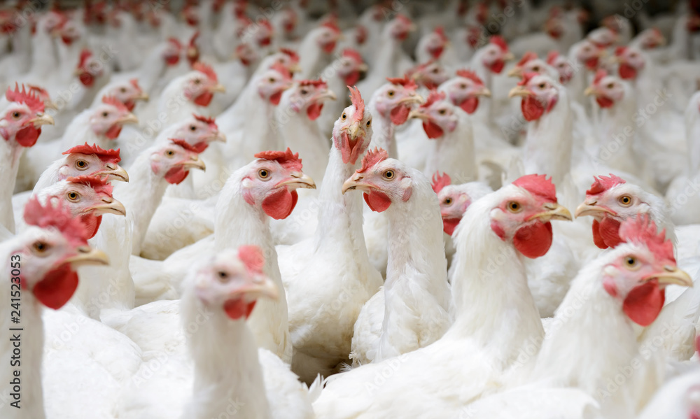 Photo  White chickens farm