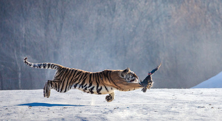 Siberian tiger in a jump catches its prey. Very dynamic shot. China. Harbin. Mudanjiang province. Hengdaohezi park. Siberian Tiger Park. Winter. Hard frost. (Panthera tgris altaica)