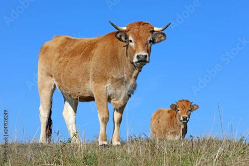 Papiers peints Vache Vaches de race Aubrac sur les plateaux de l'Aubrac en Auvergne