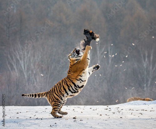 Ingelijste posters Tijger Siberian tiger in a jump catches its prey. Very dynamic shot. China. Harbin. Mudanjiang province. Hengdaohezi park. Siberian Tiger Park. Winter. Hard frost. (Panthera tgris altaica)