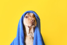 Cute Dog With Towel After Washing On Color Background