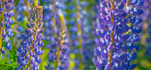 Wild Lupines Flowers In Detail