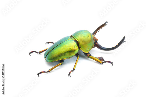 Beetle : Lamprima adolphinae or Sawtooth beetle is a species of stag beetle in Lucanidae family found on New Guinea and Papua Fototapete