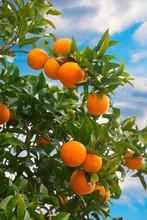 Fresh Oranges Growing On Orang...