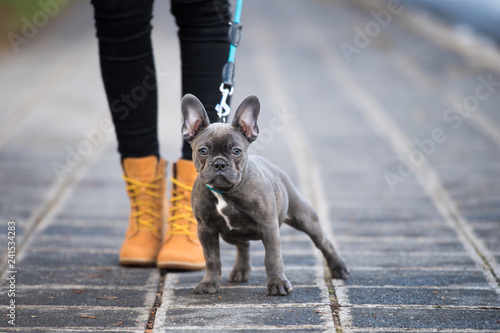 Ingelijste posters Franse bulldog French bulldog puppy on a sidewalk