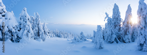 Winter snowy spruce tree forest panoramic view
