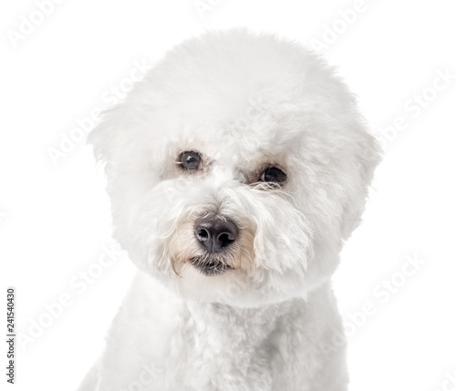 Photographie Bichon Frise puppy