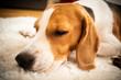 Beagle dog tired sleeps on a white carpet