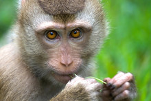 Thai Monkey (Macaque) Chewing ...