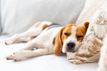 Beagle Dog Tired Sleeps On A Cozy Sofa, Couch, Blanket