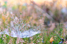Spider Web With Dew Drops On Bushes Of Calluna Vulgaris Plant, Autumn Time