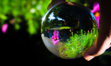 Beautiful Pink-purple Cosmos Bipinnatus Flower Photography At A Botanical Garden In Clear Crystal Glass Ball.
