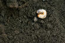 Larva. Vile Disgusting Maggot. Image Of Grub Worms. Beetle Larvae. Nasty Insect. Pest Root. Sickening Animal.