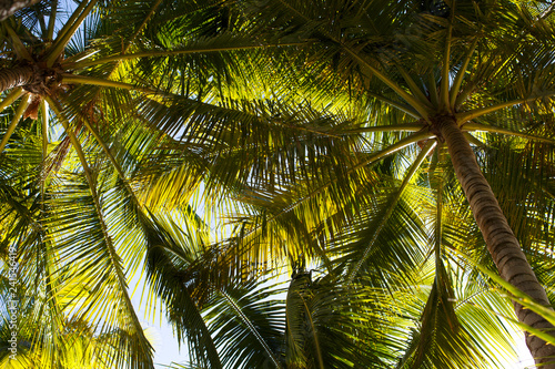 Bottom view of the branches of coconut trees and the sky