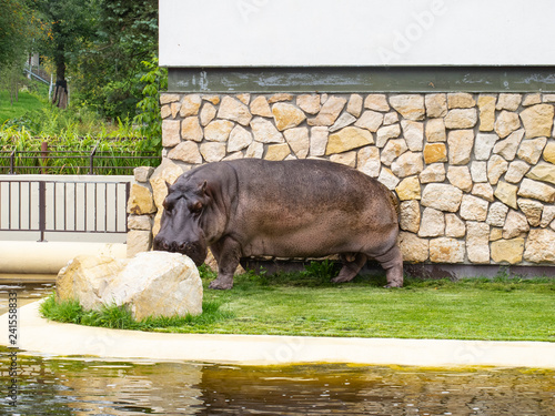 hippopotamus at the zoo on the background of the wall