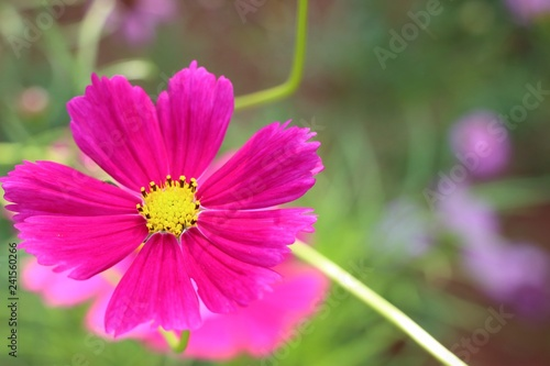 Poster Roze Cosmos flower in tropical