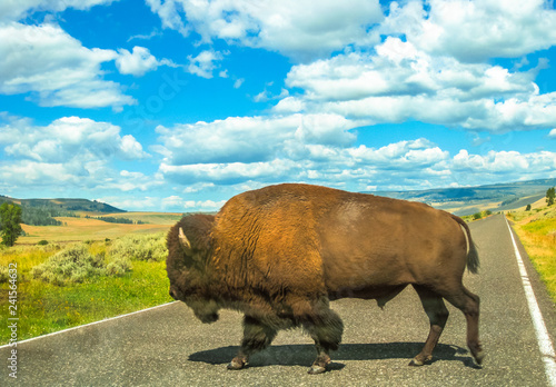 Fotobehang Centraal-Amerika Landen Side view of adult American Buffalo crossing the road at Yellowstone National Park, Wyoming, Montana and Idaho, United States. The Bison is a symbol of the American West. Summer season with cloudy sky