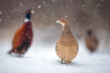 Three Common Pheasants, Phasianus Colchicus. Females And Males In Winter During Snowfall. Flock Of Wild Birds In Frosting Snow Surrounded By Falling Snowflakes. Cold Wildlife Scenery.