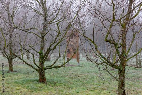 Winter in der Obstplantage-Pflaumenbäume