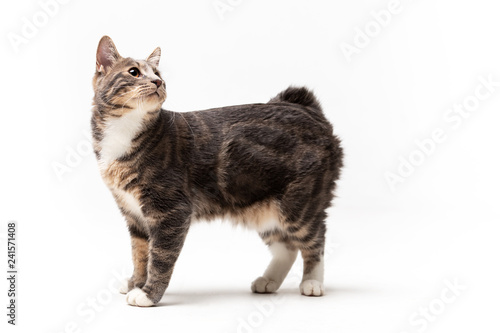Adorable bobtail cat isolated on white background