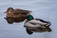 Natural Portrait Of A Male And A Female Mallard (anas Platyrhynchos) Reflect On The Water In The Natural Park Of Albufera, Valencia, Spain