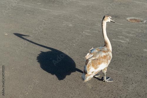 Junger Schwan mit Schattenwurf, am Ufer des Luganersees, Schweiz