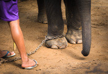Chained Elephant Feet And His ...