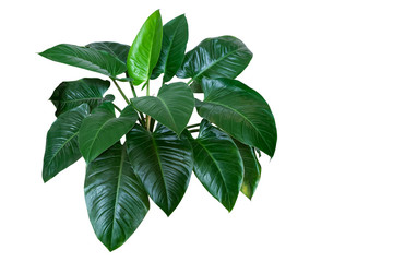 """Heart shaped dark green leaves of philodendron """"Emerald Green"""" tropical foliage plant bush isolated on white background, clipping path included."""