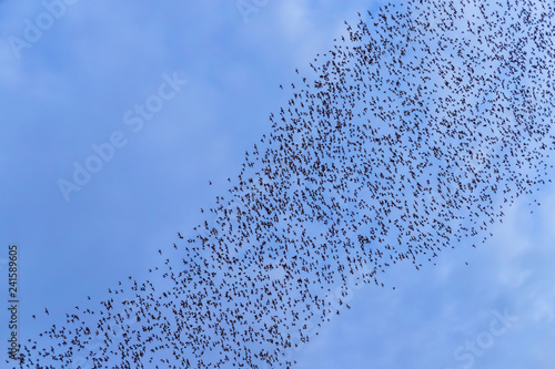 A bat herd is flying  for food with twilight sky at evening background. - 241589605