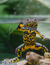 Amphibian Yellow-bellied Ulcer In Its Natural Environment Partially Submerged In Water